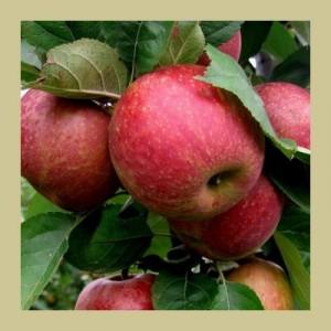 pommes-boskoop